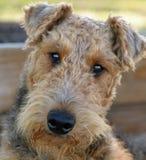 Zamyka w górę portreta uroczy Airedale Terrier pies Zdjęcia Royalty Free