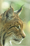 Zamyka w górę profilu strzelającego Eurazjatycki ryś Fotografia Stock