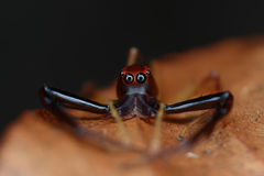 Zamyka w górę widoku Śmiały Skokowy pająk Fotografia Stock