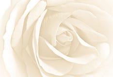 zamyka widok różanego miękkiego biel Fotografia Stock