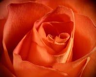 zamyka wzrastającą makro- brzoskwinię wzrastał makro- Obrazy Royalty Free