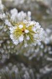 zamyka zamarzniętego świerkowego drzewa świerkowy Fotografia Stock