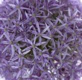 zamykający alternacyjny allium tło tworzący zieloną kwiat głowę otwiera deseniowe purpury kwiatów purpur tekstura Zdjęcie Stock