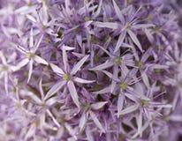 zamykający alternacyjny allium tło tworzący zieloną kwiat głowę otwiera deseniowe purpury kwiatów purpur tekstura Lato Obrazy Royalty Free