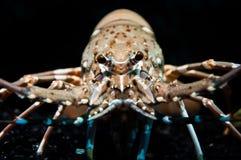 Zamykający strzał spiny homar Obrazy Royalty Free