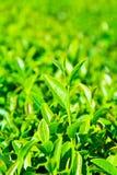 Zamykający up herbaciani liście Fotografia Stock