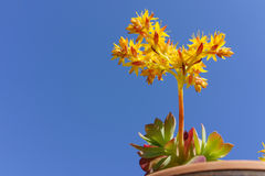Zamykający up kolorowy koloru żółtego i czerwieni kaktusowy sukulent w jaskrawym zdjęcia stock