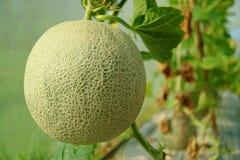 Zamykający w górę Świeżej Muskmelon lub kantalupa owoc na drzewie, Nakornnayok prowincja w Tajlandia obraz stock