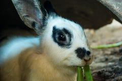 Zamykający w górę białego królika łasowania ranku Chińskiej chwały w dziurze w lokalnym gospodarstwie rolnym, w ten sposób śliczn zdjęcie stock