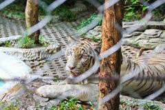 Zamykający w górę białego tygrysa w klatce Zdjęcie Royalty Free