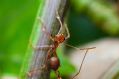 Zamykający w górę czerwonej mrówki na drzewie Zdjęcie Royalty Free
