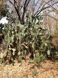 Zamykający w górę kaktusowego drzewa w parku Zdjęcie Royalty Free