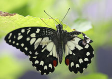 Zamykający w górę urazu Papilio demoleus Zdjęcie Royalty Free