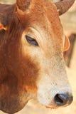 Zamykający up Banteng lub czerwony bullseye Zdjęcia Royalty Free