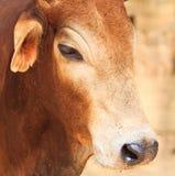 Zamykający up Banteng lub czerwony bullseye Fotografia Stock