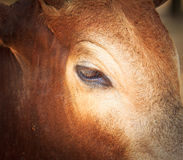 Zamykający up Banteng lub czerwony bullseye Zdjęcia Stock
