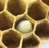 Zamykający up osy jajko Zdjęcie Royalty Free