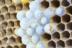 Zamykający up osy jajko Fotografia Royalty Free