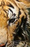 Zamykający up tygrys Obrazy Royalty Free
