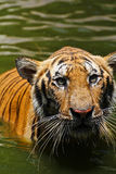 Zamykający up tygrys Obraz Stock