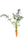 Zanahoria Foto de archivo libre de regalías