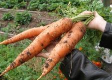 Zanahoria fresca Imagenes de archivo