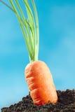 Zanahoria fresca Foto de archivo libre de regalías