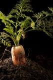 Zanahoria plantada en suelo Fotografía de archivo