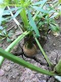 Zanahoria que agrieta el suelo Fotos de archivo libres de regalías