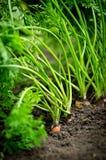 Zanahoria que crece en la tierra Foto de archivo