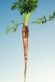 Zanahoria recientemente tirada Fotos de archivo libres de regalías