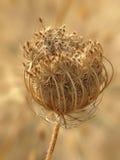 Zanahoria salvaje secada imágenes de archivo libres de regalías