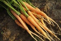 Zanahorias 1 Foto de archivo libre de regalías
