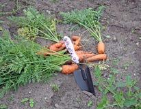 Zanahorias 1 Fotos de archivo