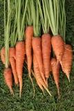 Zanahorias aisladas Fotografía de archivo libre de regalías