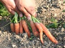 Zanahorias - carota del daucus Imágenes de archivo libres de regalías