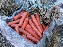Zanahorias congeladas en un cajón de madera en invierno Fotografía de archivo