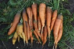 Zanahorias cosechadas frescas orgánicas, fondo del suelo, foco selectivo Imagen de archivo