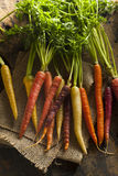 Zanahorias crudas coloreadas multi coloridas Fotos de archivo