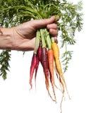 Zanahorias de bebé frescas Foto de archivo libre de regalías