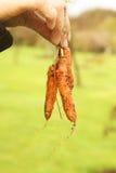 Zanahorias de bebé Foto de archivo libre de regalías