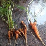 Zanahorias de cosecha propia Fotos de archivo libres de regalías