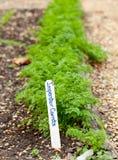 Zanahorias de Imperator en jardín Imagen de archivo libre de regalías