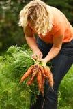 Zanahorias de la cosecha de la mujer Imagen de archivo