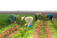 Zanahorias de la cosecha de los granjeros en campo Foto de archivo