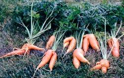 Zanahorias deformidas Fotos de archivo