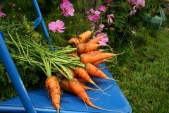 Zanahorias del jardín Fotos de archivo libres de regalías