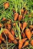 Zanahorias del jardín cubiertas en suelo Foto de archivo libre de regalías