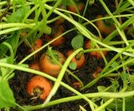Zanahorias del jardín cubiertas en suelo Imágenes de archivo libres de regalías
