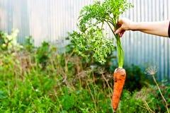 Zanahorias a disposición Imagenes de archivo